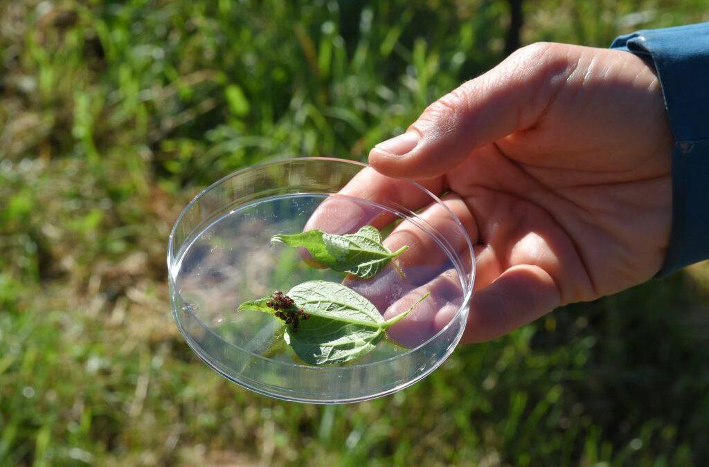 Agricoltura, frutteti trentini a rischio cimici asiatiche: arriva la vespa samurai