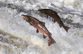 """""""Sustainable aquaculture"""": UniTrento vince il progetto sulla purificazione dell'acqua per il salmone scozzese"""