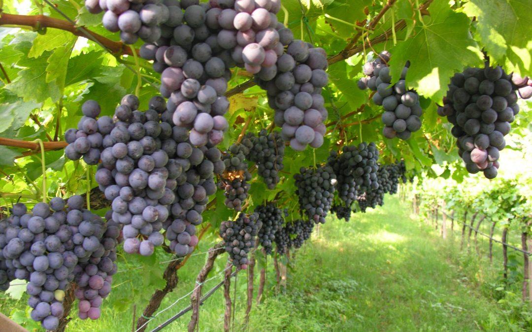 Viticoltura bio, raggiunti i 1.300 ettari in Trentino: l'impegno in linea con la strategia Farm to Fork